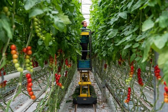 Geotermálna energia využívaná pri pestovaní paradajok